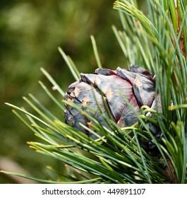 pine cones,cedar cones.