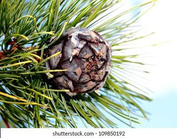 pine cones,cedar cones,blue sky.