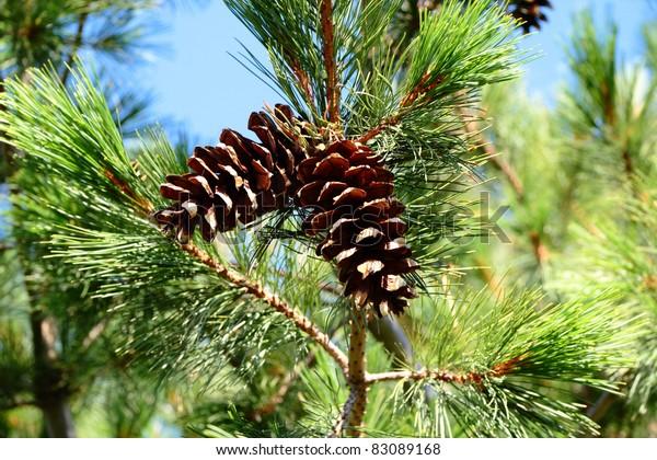 pine-conescedar-conesblue-sky-600w-83089