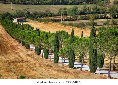 Pine and cypress trees rows and country road, rural landscape, Tuscany, Italy.