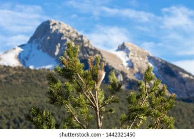 Pine detail with Pedraforca mountain landscape background