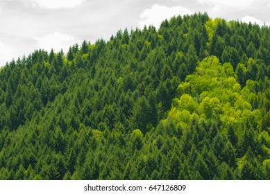 Pine evergreen forest in the mountain