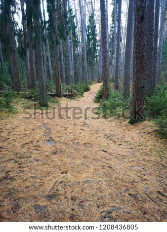 pine and fir forest