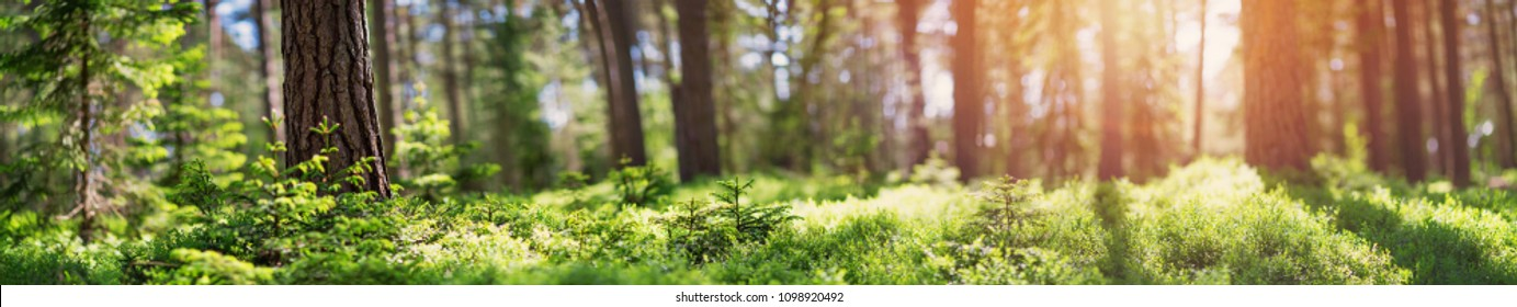 pine and fir forest panorama in spring. Pathway in the park