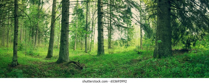 pine and fir forest panorama in spring