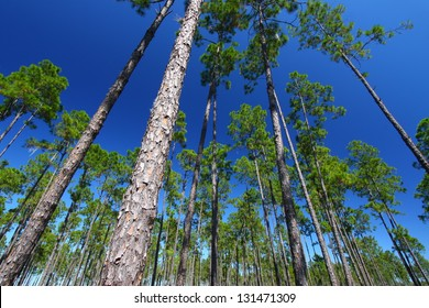 Pine flatwoods of central Florida