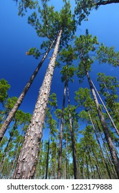 Pine flatwoods of central Florida on a sunny day