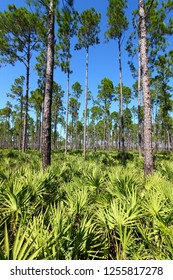 Pine flatwoods of Florida on a clear day