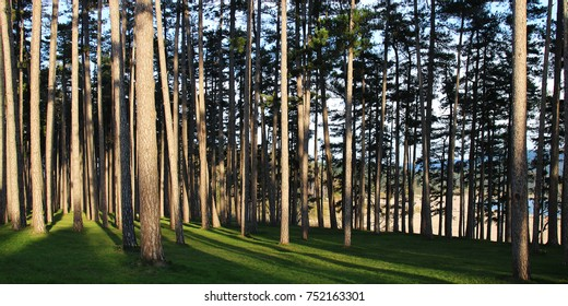 Pine forest of Saint-Ferréol