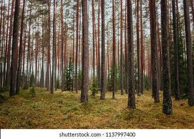 Pine forest in autumn