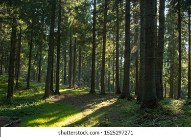 Pine forest in autumn with sunrays on the ground