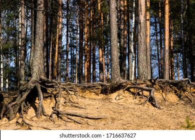 Pine forest background. Pine tree roots, close up. Nature concept. Pine with a bare root system in a sand pit. Tree root system looks out. Ecological problem. Environmental conservation concept.