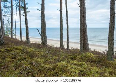 pine forest at Baltic Sea. Typical Latvia sea coast