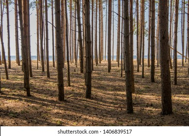 pine forest at Baltic Sea. Typical Latvia sea coast