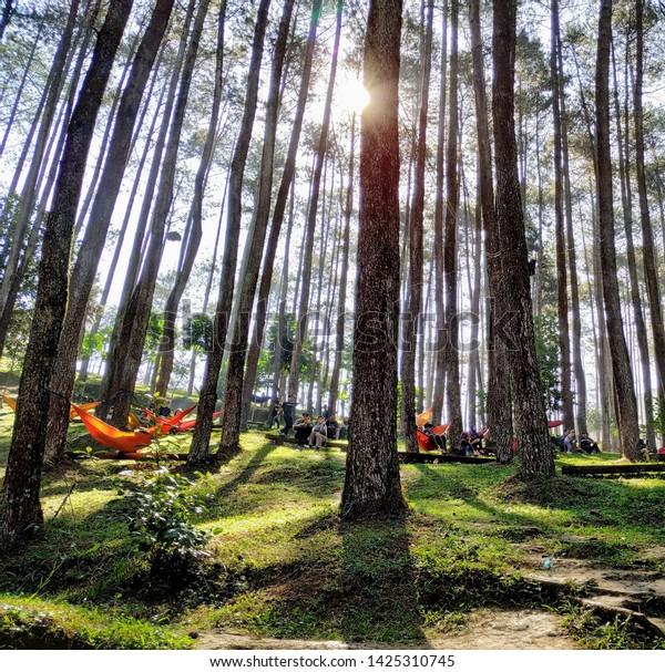 Pine Forest Camp Hamok Wisata Alam Stock Photo Edit Now