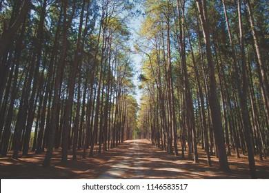 Pine Forest. Caribbean pine (Pinus caribaea) trees are long row. Pine park at Boa kaeo silvicultural research station (Suan son bor kaeo), Chiang Mai, Thailand