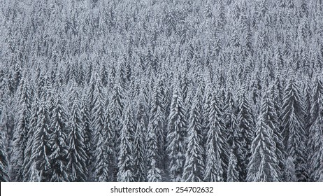 Pine forest covered by snow in a cold winter day.
