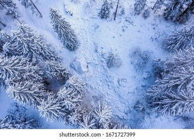 pine forest covered with fresh snow - aerial view