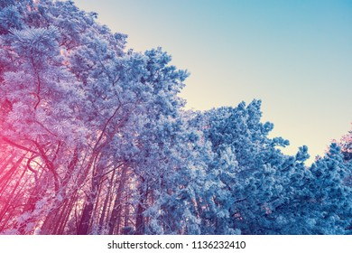 Pine forest covered with rime. Natural winter background. Winter nature. Snowy forest. Christmas background. Gradient color