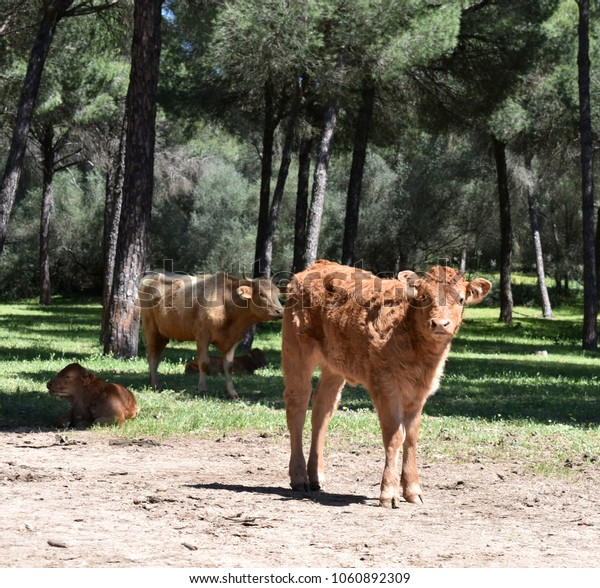 Pine forest with Cows