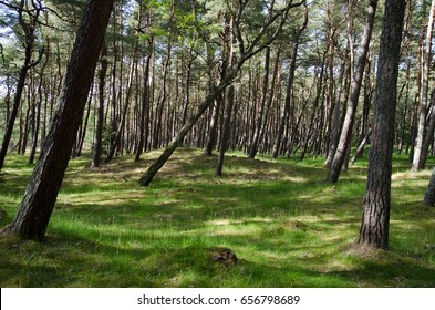 Pine forest, Curonian spit