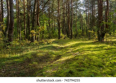 pine forest in early autumn