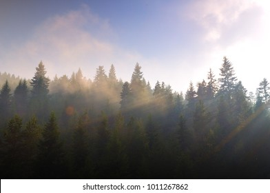 Pine forest in Eastern Europe