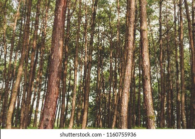 Pine forest in the evening.