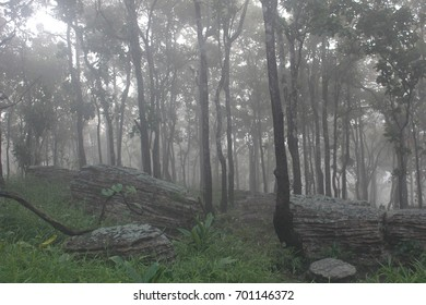Pine forest in fog