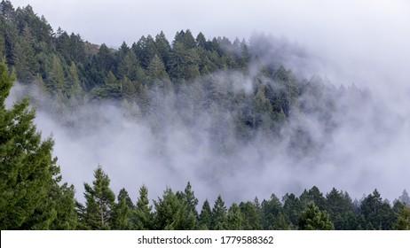 Pine Forest in Fog. Mount Tamalpais State Park, Marin County, California, USA.