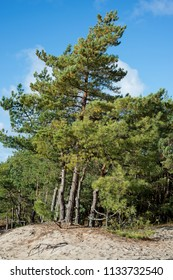 Pine forest grows on sandy ground