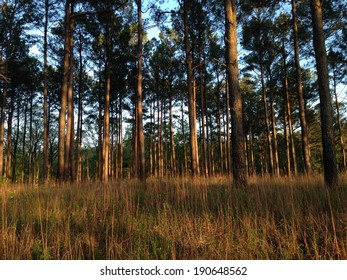 Pine Forest in Holly Springs National Forest, Mississippi