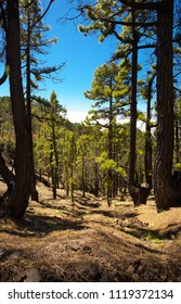 Pine forest in the Island of La Palma with endemic pines Pinus canariensis, Canary Islands, Spain