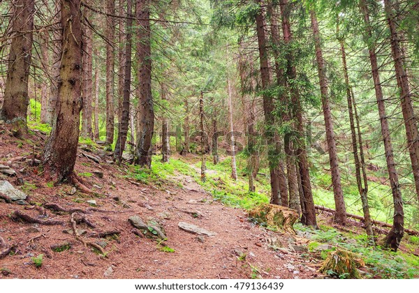 Pine forest landscape in mountains. Shallow focus