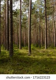 Pine forest landscape in spring