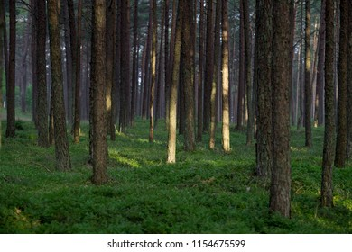 Pine Forest in Lithuania with Sunset Light on the Trunk.
