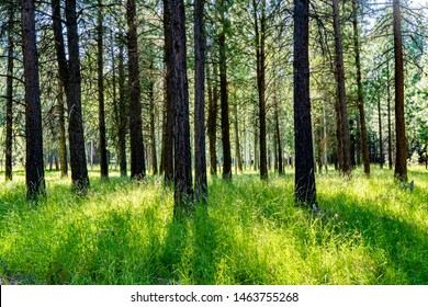 A pine forest with lush green meadow grass near Sisters, Oregon