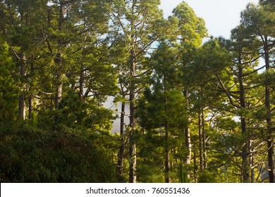 Pine forest, lush green trees. Sustainable clear ecosystem. Pinus canariensis, Canary Islands, Tenerife