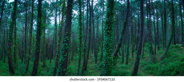 Pine forest of maritime pine (Pinus pinaster) in Dunas de Liencres Natural Park by the Cantabrian Sea in Pielagos Municipality of Cantabria Autonomous Community of Spain, Europe