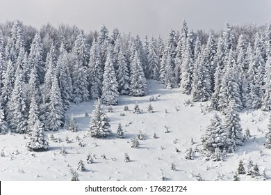 a pine forest in the middle winter