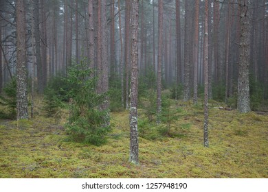 Pine forest in the misty day