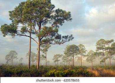 Pine forest misty morning. Highlands Hammock, Florida State Parks, US