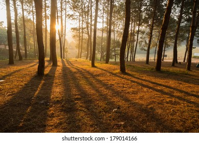 Pine forest in moment of sun shining through trees.