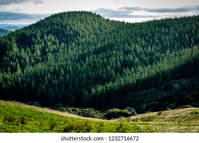 Pine Forest in New Zealand