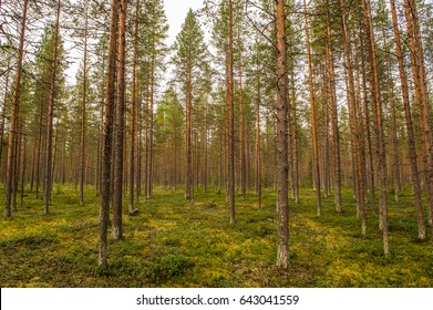 pine forest in northern finland