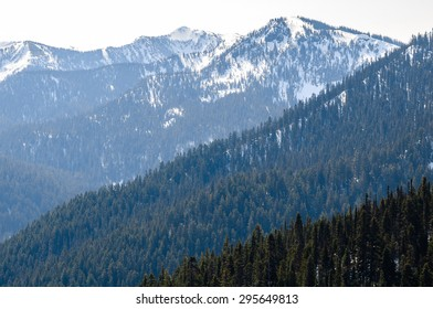 Pine Forest at Olympic National Park