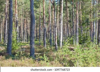 Pine forest on the Kurgalsky peninsula in the Leningrad region, Russia