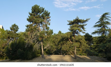 Pine forest on mount, summer 2020