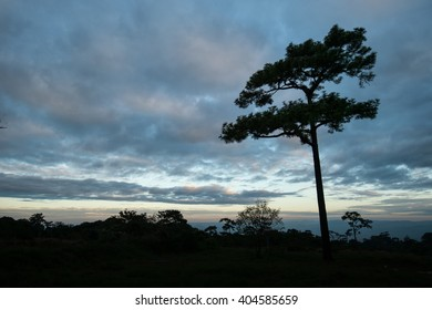 Pine forest on mountain with blue sky. Tropical forest in Thailand