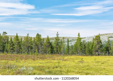 Pine forest on a mountain on a bog
